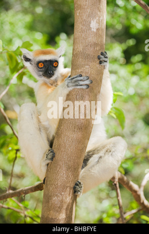 the golden crowned sifaka or tattersall s sifaka