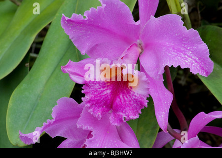 pink orchids close up - photo #16