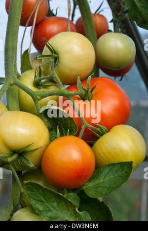 green tomatoes on a plant