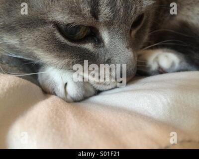 Tabby cat head